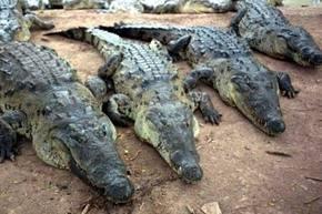 PETA denuncia muerte violenta de miles de cocodrilos para proporcionar pieles a Louis Vuitton