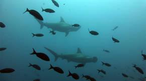 Es la primera vez que el tiburón martillo aparece en la relación de especies del Mediterráneo en peligro crítico