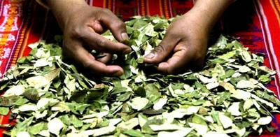 El extracto de coca puede reemplazar al azúcar en la elaboración de chocolate
