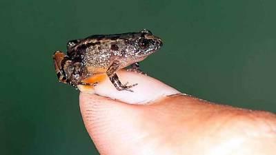 Descubren cuatro nuevas especies de ranas diminutas en India