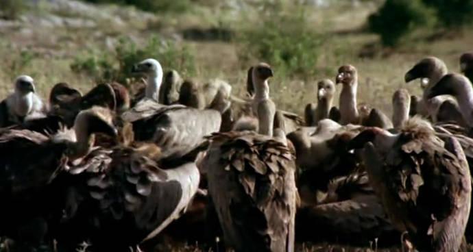 Un fármaco veterinario pone en peligro al buitre en España