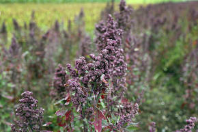 La quinoa puede prosperar en entornos duros y crece bien en tierras marginales de mala calidad