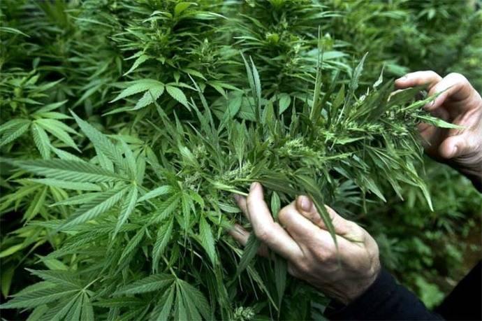 La marihuana es la droga más consumida en África
