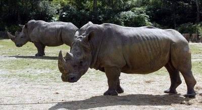 Matan a rinoceronte en un zoológico francés para robarle uno de sus cuernos