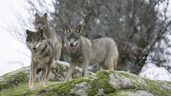 El parque de Picos de Europa mantiene la caza de lobos a pesar de la exhibición de ejemplares matados ilegalmente