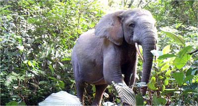 Un elefante de bosque solitario en el Parque Nacional Minkébé de Gabón. De 2004 a 2014, unos 25.000 elefantes en el parque fueron asesinados por el comercio ilegal de marfil