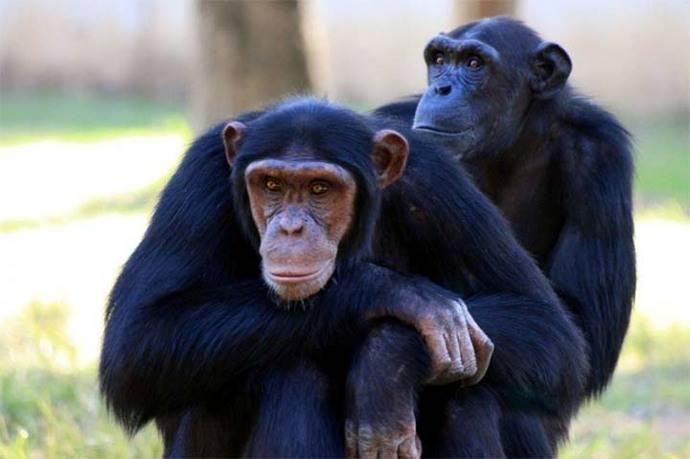 Chimpancés con ébola se curan con una nueva vacuna oral