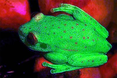 Hallan a la primera rana fluorescente del mundo