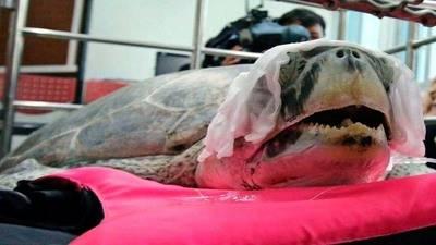 Muere la tortuga a la que sacaron 915 'monedas de la suerte' de su estómago