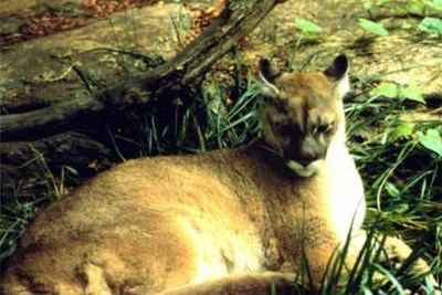 El puma concolor couguar fue declarado extinto.
