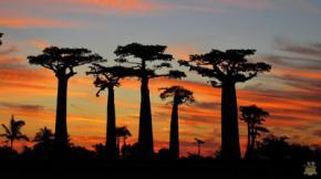 Seis de las ocho variedades de baobabs conocidas solo crecen en Madagascar