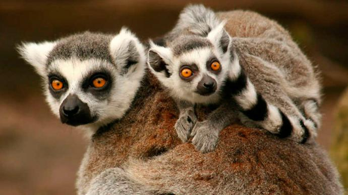 Los famosos lémures  de los que existen más de cien especies en Madagascar