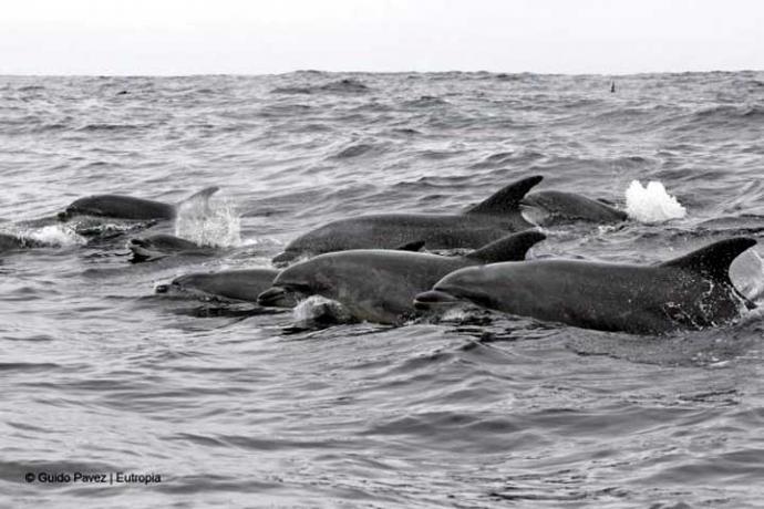 Temporada de avistamiento de cetáceos en Chañaral de Aceituno, Chile