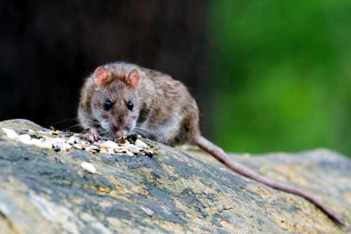 ¿Cómo prevenir y controlar plagas de roedores?
