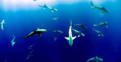 Crean un santuario para tiburones en las Islas Samoa