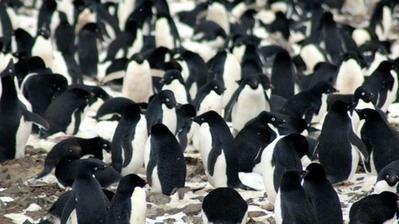 Más de 750 mil parejas de pingüinos fueron halladas en los islotes.