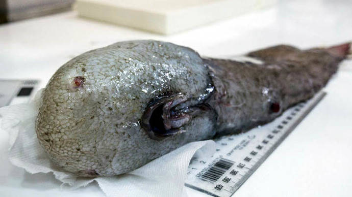 Hallan en aguas de Australia un pez sin rostro