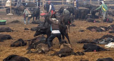 Nepal sacrifica 6.000 búfalos en la mayor matanza ritual de animales del mundo
