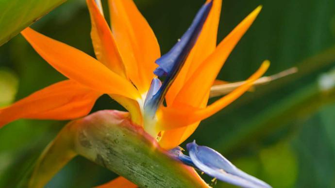 Cómo cuidar la planta ave del paraíso
