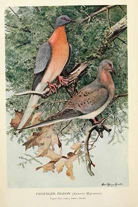 Portada de un volumen de artículos, The Passenger Pigeon, 1907 (Mershon, editor). Al pie de la foto dice: 'Paloma Migratoria (Columba Migratoria) Ave en la parte superior, macho; Ave de la parte inferior, hembra. Fecha de impresión, 1907