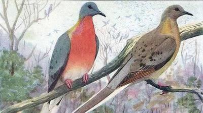 La paloma migratoria era una de las aves más abundantes de la Tierra. En 1914 se extinguió.