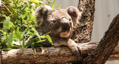 Incendios en Australia matan a la mitad de los koalas sanos
