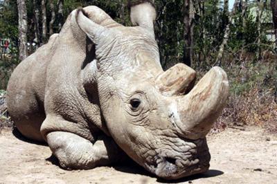 Así luce Sudán, el último rinoceronte blanco macho del mundo. www.olpejetaconservancy.org