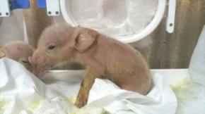 Científicos chinos crean primeros híbridos de mono y cerdo