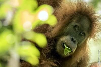 Un Tapanuli orangután registrado por la Universidad de Zurich.  Maxime Aliaga - Universidad de Zurich