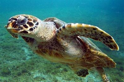 La mayor parte de sitios donde se comercia elementos relacionados con esta especie está en Cartagena. B.navez - Wikimedia - Creative Commons
