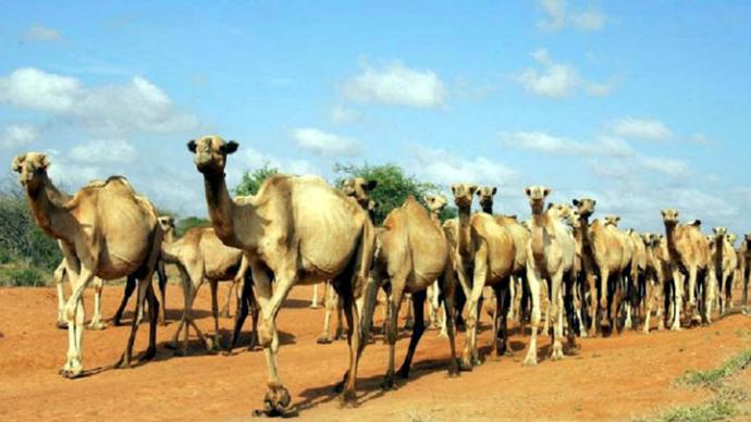 Policía de Kenia usará camellos en la seguridad de la frontera con Somalia