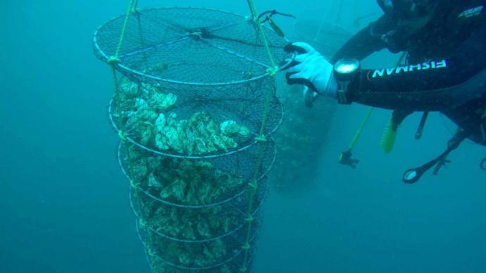 Las ostras se crían a unos siete kilómetros de la costa del puerto pesquero de Conil.