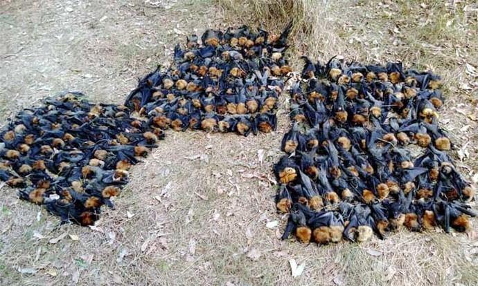 Murciélagos muertos apilados en el suburbio de Campbelltown, en Sydney, Australia. Facebook: Help Save the Wildlife and Bushlands in Campbelltown
