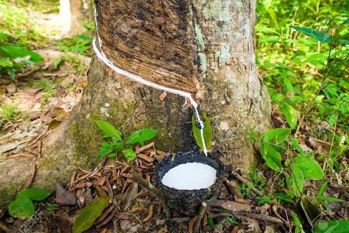 Recogiendo la savia del árbol del caucho, en la selva amazónica…