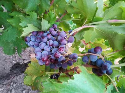 El Vino: Alimento, Salud y Magia para los sentidos
