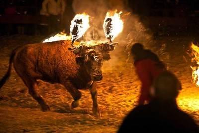 """Un toro """"embolao"""" durante unos festejos populares"""