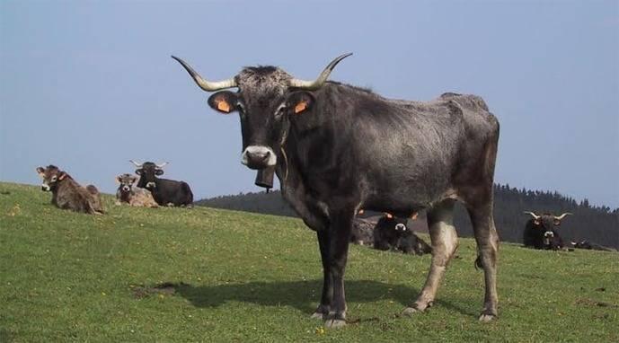 Mancomunidad Campoo-Cabuérniga: 5.400 animales pastarán este verano en los puertos de Sejos y Palombera