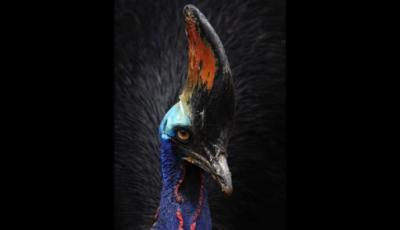 El Casuario, el ave más peligrosa del mundo...