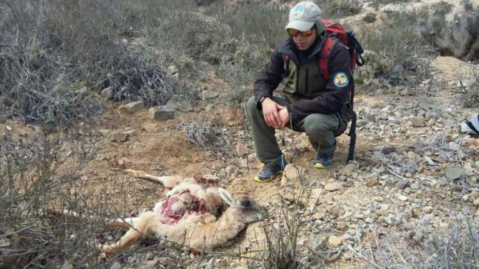 Los perros asilvestrados atacan la fauna nativa, como este guanaco en el Parque Nacional Llanos de Challe. Crédito: Conaf.