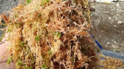 El sphagnum moss ,  es el musgo que sostiene el barro que acoge nuestras plantas favoritas,