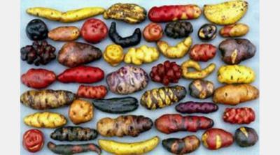 Las Patatas (Papas) nativas chilotas, patrimonio de la Humanidad