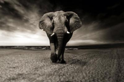 •Los elefantes africanos, que necesitan beber entre 150 y 300 litros de agua, se quedarán sin su principal fuente de vida.