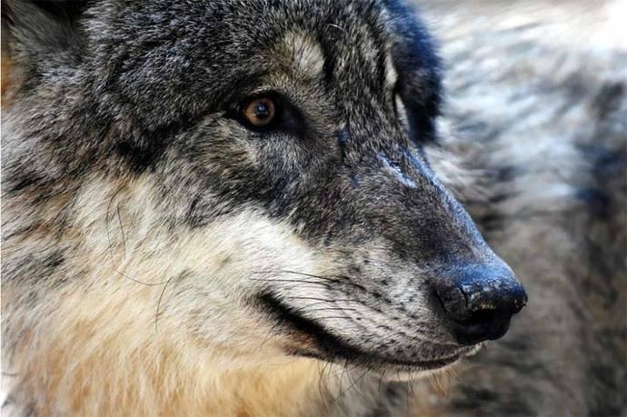 Ofrecen millonaria recompensa por información sobre ataque a lobo en parque de EE.UU.