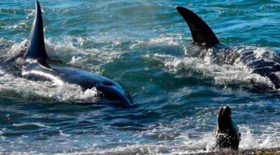 Fauna marina vuelve a repoblar las playas del norte durante cuarentena