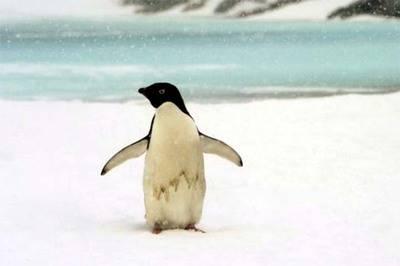 Los pingüinos son extremadamente sensibles a cambios ambientales a gran escala y sirven para monitorear la salud global de los océanos.