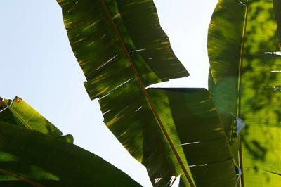 Grandes plantas de hojas verdes, el toque exótico y natural de cualquier hogar
