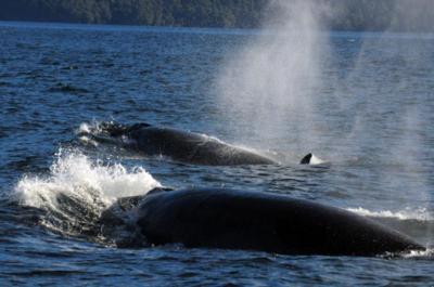 Unas cuarenta ballenas sei frecuentan el Estrecho de Magallanes cada verano