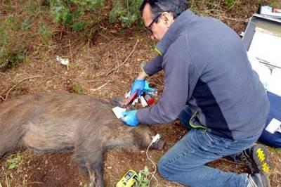 Un veterinario coloca un crotal en la oreja de un jabalí. / Grupo de Investigación sobre Infertilidad de la UAB