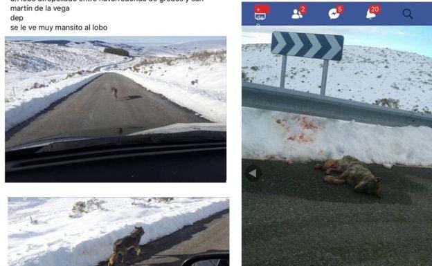 Cerrada página de Facebook en la que se burlaban por atropellar a un lobo