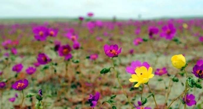 El desierto florido: Un espectáculo de la naturaleza